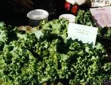 Greens_and_lettuce_lactuca_sativa_var._butterking-1.full