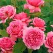 Hybrid_teas_rosa_princess_alexandra_of_kent.thumb