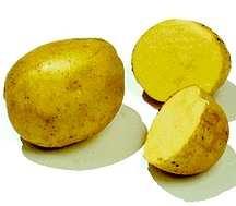 Potatoes_solanum_tuberosum_yukon_gold-1.full