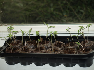 Small_tray_of_seedlings.large