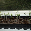 Small_tray_of_seedlings.thumb