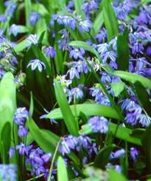 Squill, Siberian