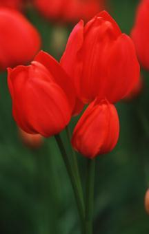 Tulips_tulipa_orange_bouquet-1.full