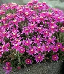 Ice Plant, Creeping Shrubby