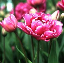 Tulip, Double Late 'Lilac Perfection'
