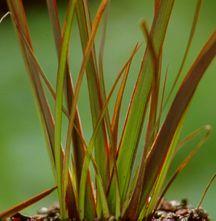 Flax, New Zealand 'Jack Spratt'