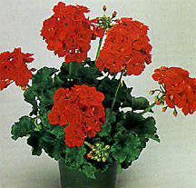 Geranium, Zonal 'Melody Red'
