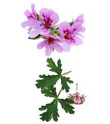 Scented Geranium, Citrosa