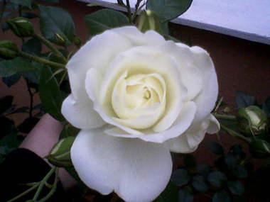 First_rose.detail