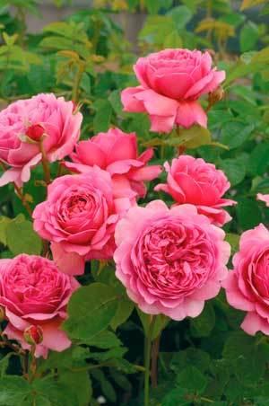 Rose.detail