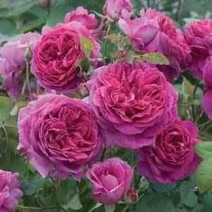Rose2.detail