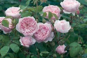 Rose3.detail