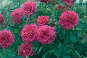 Rose4.detail