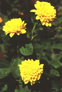 Sunflower, Double 'Flore Pleno'