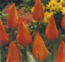 Tulips_tulipa_temple_of_beauty-1.full