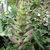 Perennials: Acanthus spinosus