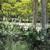 Perennials: Actaea racemosa