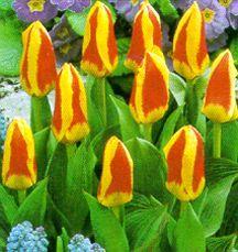 Tulips_tulipa_kaufmanniana_stresa-1.full