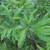 Perennials: Comptonia peregrina