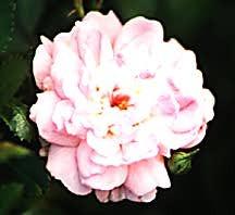 Rose, Antique Polyantha 'The Fairy' (1932)