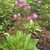 Perennials: Dodecatheon jeffreyi