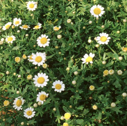 Daisies_argyranthemum_frutescens_harvest_snow_tm-1.full