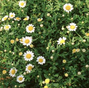 Marguerite Daisy, 'Harvest Snow'™