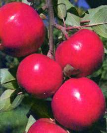 Apple Tree, Semi-dwarf 'Starkspur® Red Rome Beauty'