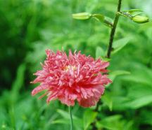 Annuals_papaver_laciniatum_rose_feathers-1.full