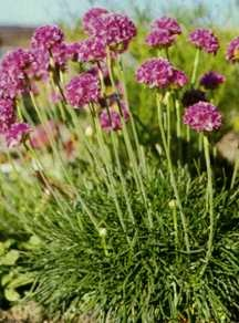 Sea Thrift, 'Splendens'