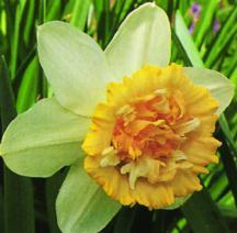 Daffodils_and_narcissus_narcissus_petit_four-1.full