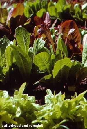 Lettuce.detail