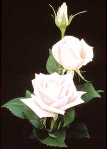 Rose, Hybrid Tea 'Bride's Dream'