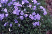 Bellflower, 'Bavarian Blue'