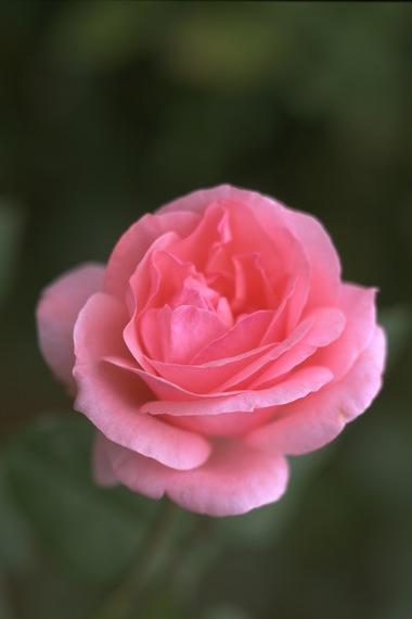 Pink_rose.detail