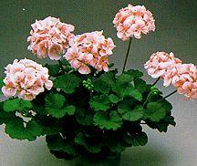 Geranium, Zonal 'Cotton Candy'