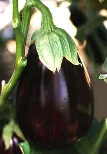 Eggplant_solanum_melongena_imperial_black_beauty-1.full