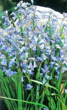 Bulbs_hyacinthoides_non-scripta-2.full