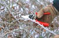 2winter_pruning_roses.detail