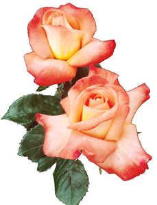 Rose, Grandiflora 'Octoberfest'™