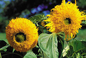 Sunflower, Giant Sungold
