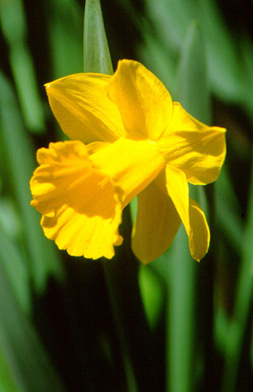 Daffodils_and_narcissus_narcissus_unsurpassable-1.full