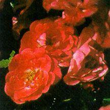 Rose, 'Fuchsia Meidiland'