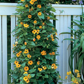 Black-eyed-susan-vine.detail