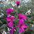 Gladiolus: Gladiolus communis subsp. byzantinus