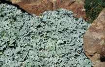 Artemisia_artemisia_stelleriana_boughton_silver-1.full