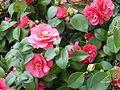120px-camellia1.detail