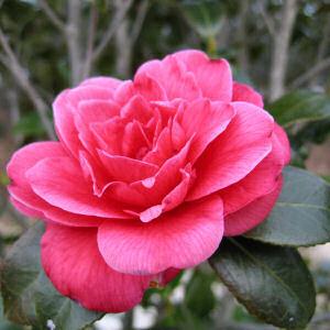 Camellia_2.detail