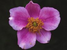 Anemone_anemone_tomentosa_robustissima-1.full