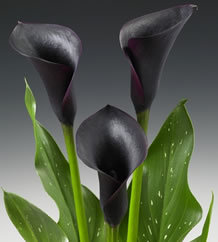2010 New Introduction:  Calla Lily 'Cantor'